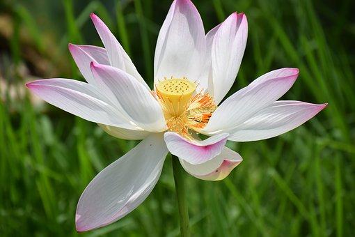 lotus-3595342__340